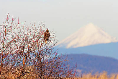 Red-tailed Hawk And Mount Shasta - Northern California Poster