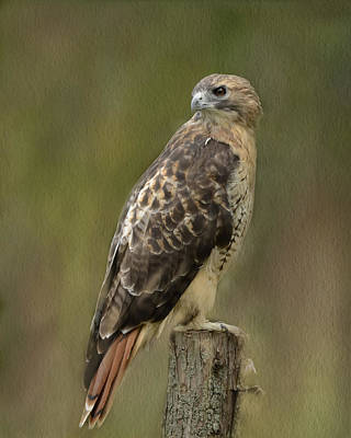 Red-tailed Hawk Poster by Ann Bridges