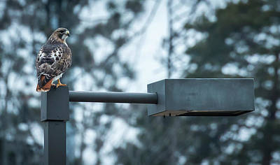 Poster featuring the photograph Red Tailed Hawk At Parkside by Ricky L Jones
