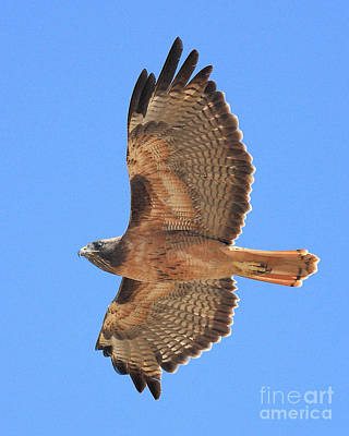 Red Tailed Hawk In Flight 2 Poster by Wingsdomain Art and Photography