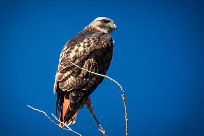 Red Tailed Hawk Poster by John Bartelt