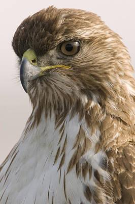 Red Tailed Hawk Juvenile Stevens Creek Poster by Sebastian Kennerknecht
