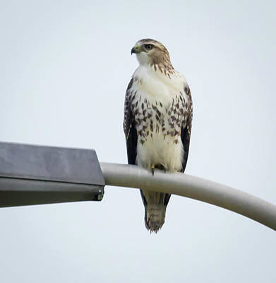 Poster featuring the photograph Red-tailed Hawk Looking At Me by Ricky L Jones