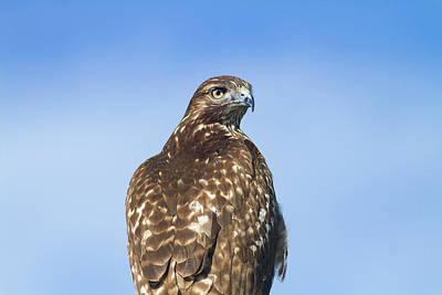 Red-tailed Hawk Perched Looking Back Over Shoulder Poster