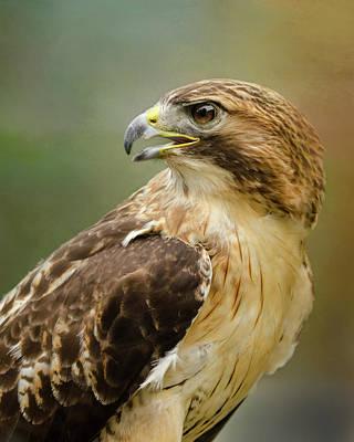 Red-tailed Hawk Portrait Poster by Ann Bridges