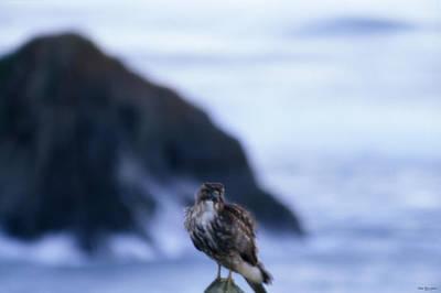 Red-tailed Hawk - Westport Union Landing State Beach Poster by Soli Deo Gloria Wilderness And Wildlife Photography
