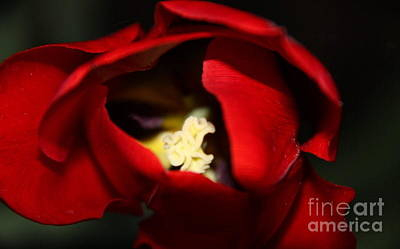 Poster featuring the photograph Red Tulip by Jolanta Anna Karolska