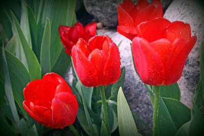 Red Tulips Closeup Poster by Kay Novy