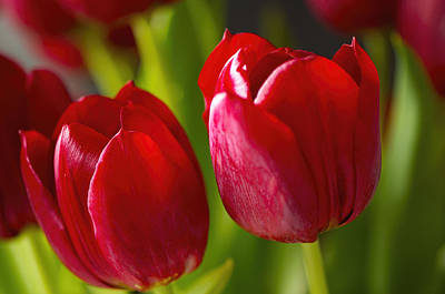 Red Tulips Poster by Sharon Talson