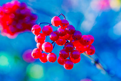 Poster featuring the photograph Red Viburnum Berries by Alexander Senin