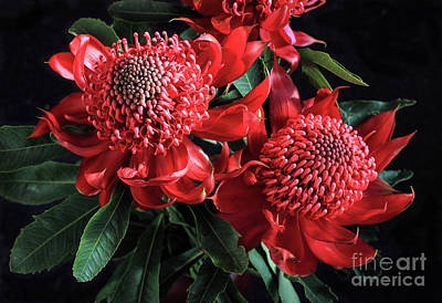 Red Waratahs Poster by Layla Alexander