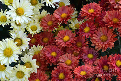 Red White And Yellow Fall Flowers Poster