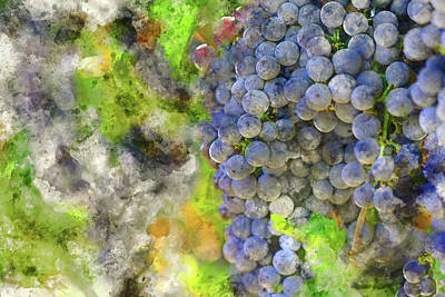 Red Wine Grapes On The Vine In Napa Poster
