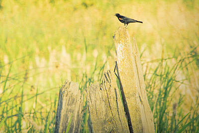 Red-winged Blackbird Poster by Bonnie Bruno