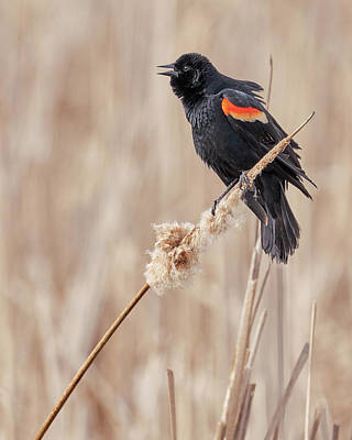 Male Red-winged Blackbird In A Minnesota Marsh Poster by Jim Hughes