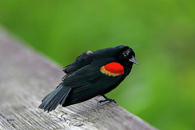 Poster featuring the photograph Red-winged Blackbird by Juergen Roth