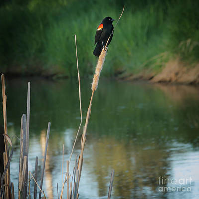 Red Winged Blackbird  Poster by Robert Bales