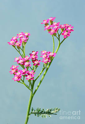 Red Yarrow Poster