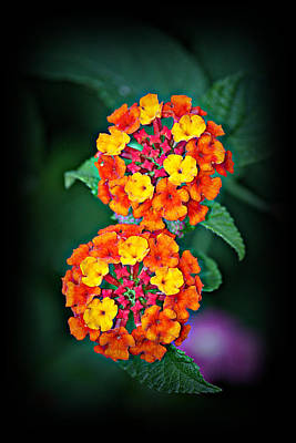 Poster featuring the photograph Red Yellow And Orange Lantana by KayeCee Spain