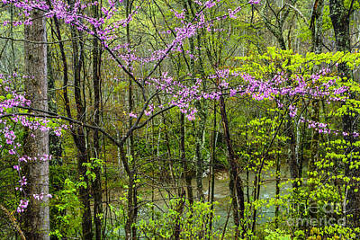 Redbud In The Rain Poster by Thomas R Fletcher