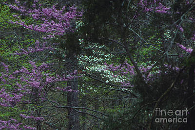 Redbuds And Dogwoods Poster by Lowell Anderson