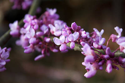 Poster featuring the photograph Redbuds In March by Jeff Severson