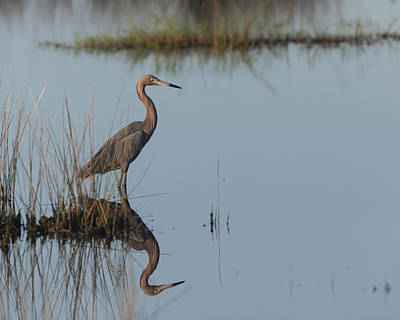 Reddish Egret And Reflection In The Morning Light Poster