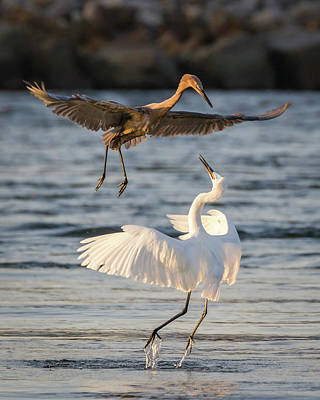 Reddish Egret Confrontation Poster