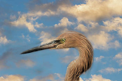 Poster featuring the photograph Reddish Egret by Kim Hojnacki