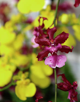 Maroon And Yellow Orchid Poster