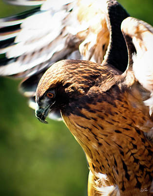 Redtail Hawk 3 Poster