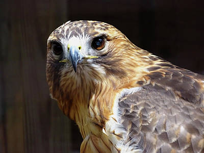 Redtail Hawk Beauty Poster by Bonnie Phillips