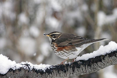 Redwing Perched On A Snowy Branch Poster