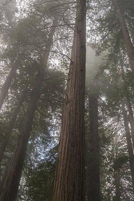 Redwood Fog California Poster