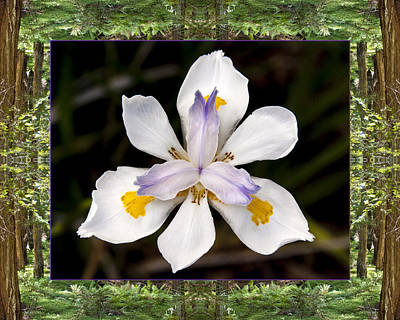 Redwood Iris Poster by Bell And Todd