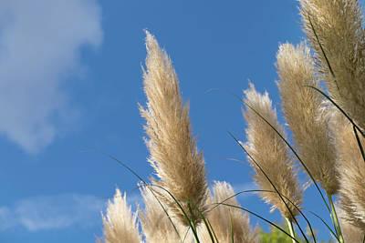 Reeds Against Sky Poster