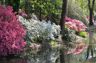 Poster featuring the photograph Reflecting Azaleas by Linda Geiger