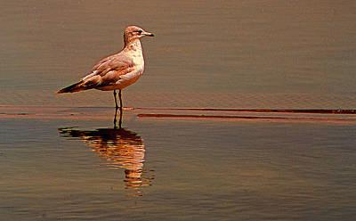 Reflecting Gull Poster by Bob Whitt