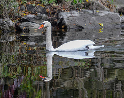 Reflecting Mute Swan Poster