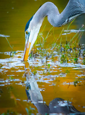 Reflection Of A Great Blue Heron Poster by Parker Cunningham