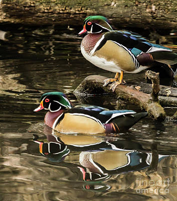 Reflections Of You And Me Wildlife Art By Kaylyn Franks Poster
