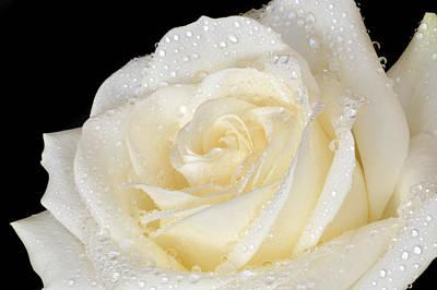 Refreshing Ivory Rose Poster