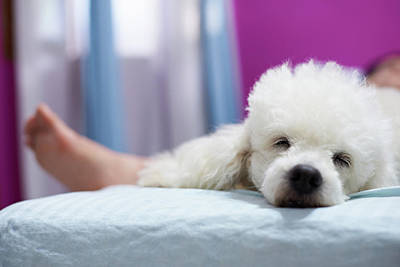 Relax Sleeping White Poodle Dog Poster