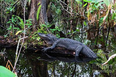 Resting Alligator   Poster