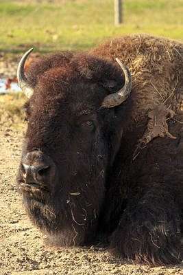 Resting Buffalo Poster