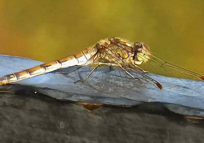 Resting Dragonfly Poster by Tracey Harrington-Simpson