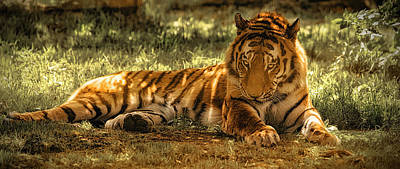 Poster featuring the photograph Resting Tiger by Chris Boulton