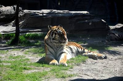 Poster featuring the photograph Resting Tiger by John Black