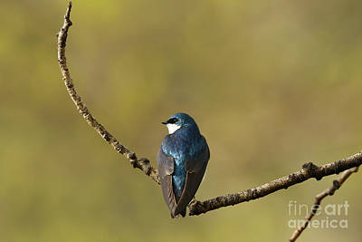 Resting Tree Swallow Poster
