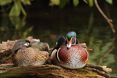 Resting Wood Ducks Poster